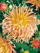 Dahlia cactus arancio 909571
