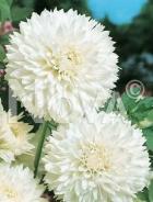 Dahlia decorativa bianca 810800