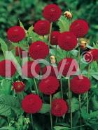 Dahlia pompon rossa 813007