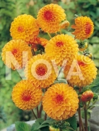 Dahlia pompon arancio 813203