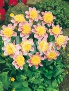 Dahlia anemone rosa 814501