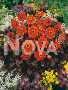 Dahlia topmix arancio 815011