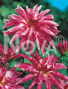 Dahlia orchidea rosa 817101