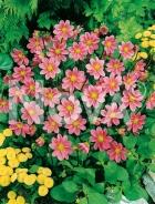 Dahlia topmix rosa 820301