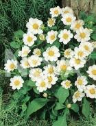 Dahlia topmix bianca 820400