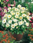 Dahlia topmix bianca 820401
