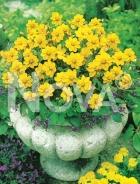 Dahlia topmix gialla 820501