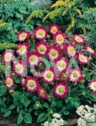Dahlia topmix sweetheart 820701