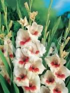 Gladiolo bianco 823520