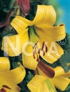 Lilium trumpet giallo 826002