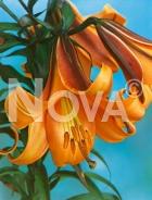 Lilium trumpet arancio 826050