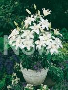 Lilium nano bianco 826058