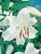 Lilium orientale bianco 826137
