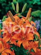 Lilium asiatico arancio 826191