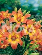 Lilium asiatico arancio 826369