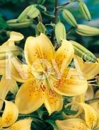 Lilium asiatico giallo 826400