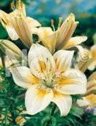 Lilium asiatico bianco-giallo 826439