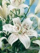 Lilium asiatico bianco 826686