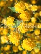 Kerria japonica B100