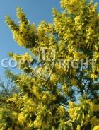 Mimosa B107