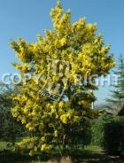 Mimosa B108