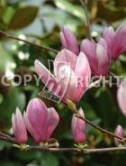 Magnolia soulangeana B109