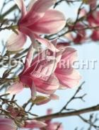 Magnolia soulangeana B110