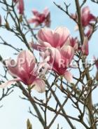 Magnolia soulangeana B112
