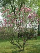 Magnolia lilliflora B118