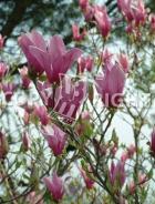 Magnolia lilliflora B119