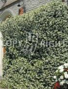 Rhynchospermum jasminoides B13