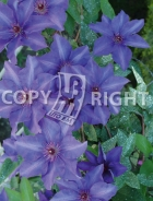 Clematis the president B137