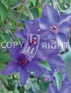 Clematis the president B138