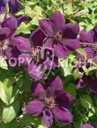 Clematis the president B139