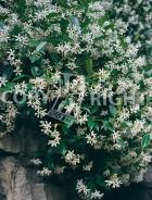 Rhynchospermum jasminoides B14