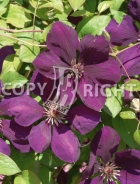 Clematis the president B140