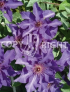 Clematis the president B141