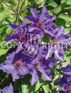 Clematis the president B142