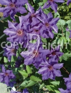 Clematis the president B143