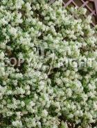 Rhyncospermum jasminoides B144