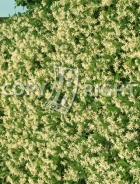 Rhyncospermum jasminoides B145