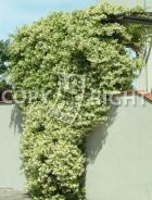 Rhyncospermum jasminoides B146