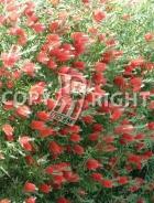 Callistemon citrinus B149