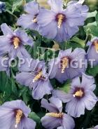 Hibiscus syriacus B15
