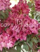 Weigela bristol ruby B151