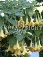 Brugmansia suaveolens B155