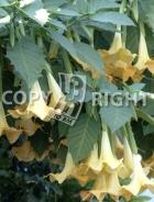 Brugmansia suaveolens B156