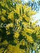 Mimosa B160
