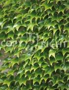 Parthenocissus tricuspidata B164
