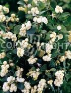 Symphoricarpos albus B28